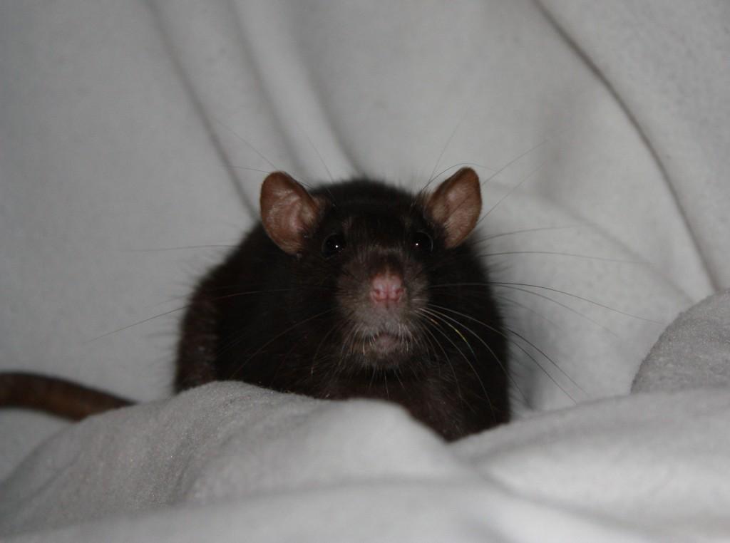 rat ondeugend