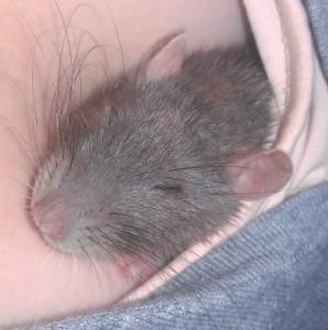 mijn rat