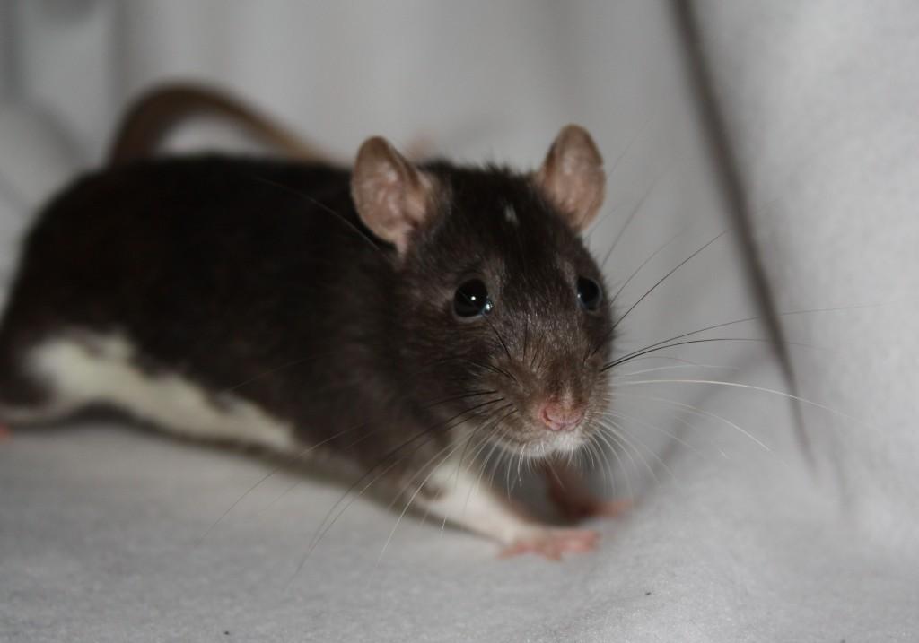 rat met wit