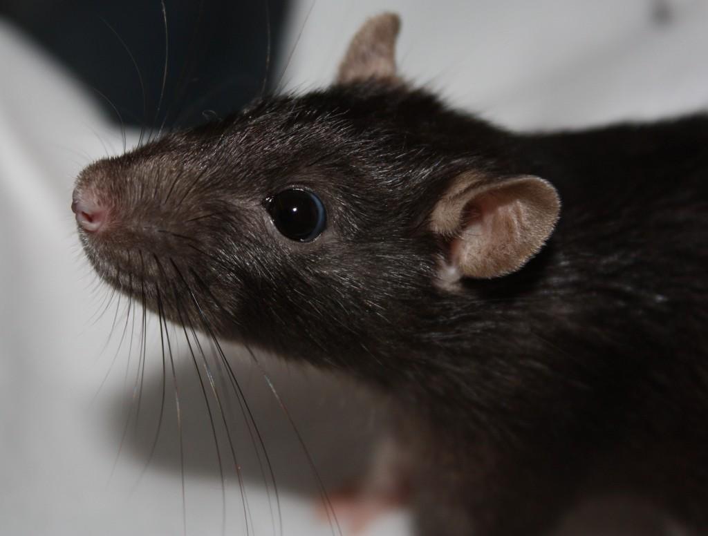 mijn rat zwart